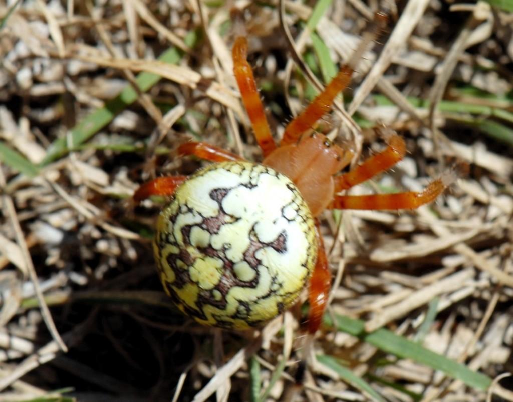 Konza_Spider 11