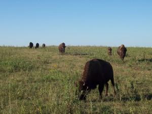 Konza_bison